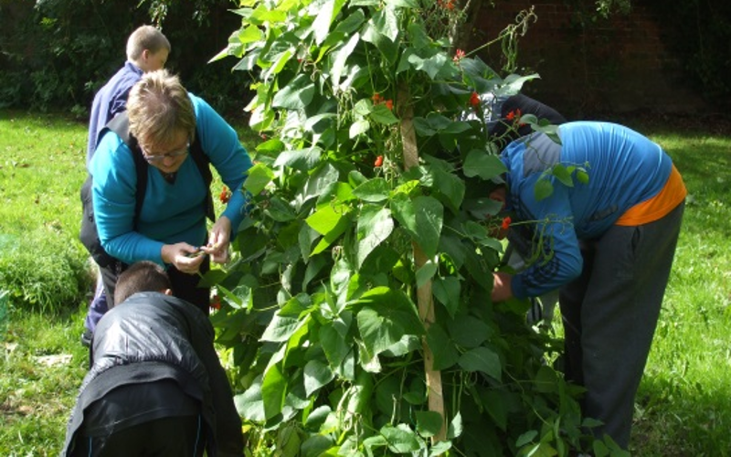 harvesting peas at Chaigeley School